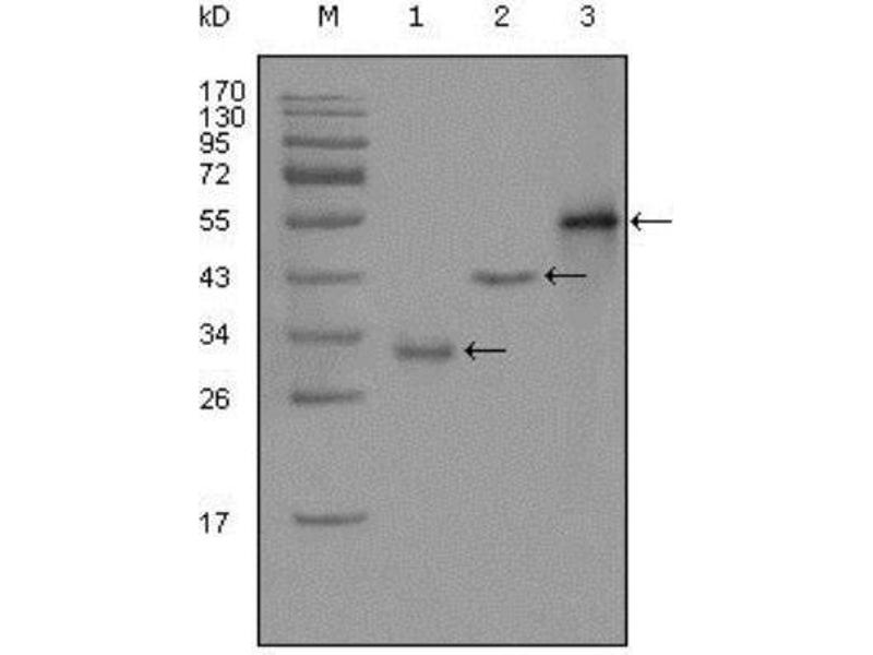 Western Blotting (WB) image for anti-Paternally Expressed 10 (PEG10) antibody (ABIN5682997)