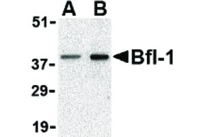 Image no. 1 for anti-BCL2-Related Protein A1 (BCL2A1) (N-Term) antibody (ABIN6656642)