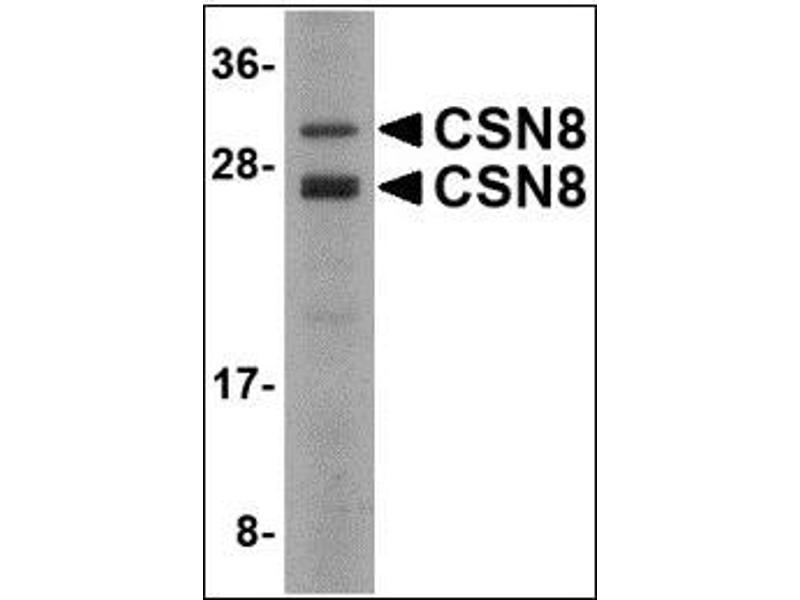 Western Blotting (WB) image for anti-COP9 Constitutive Photomorphogenic Homolog Subunit 8 (Arabidopsis) (COPS8) (C-Term) antibody (ABIN615686)