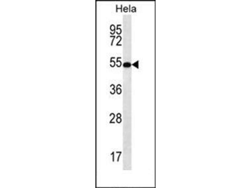 Western Blotting (WB) image for anti-SCHIP1 antibody (Schwannomin Interacting Protein 1) (AA 97-126) (ABIN954686)