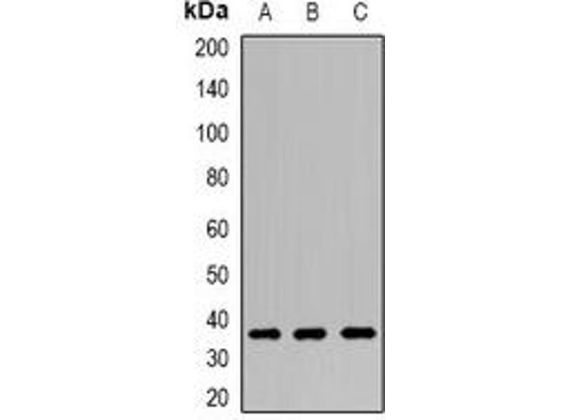 Western Blotting (WB) image for anti-Canopy 3 Homolog (Zebrafish) (CNPY3) antibody (ABIN3198004)