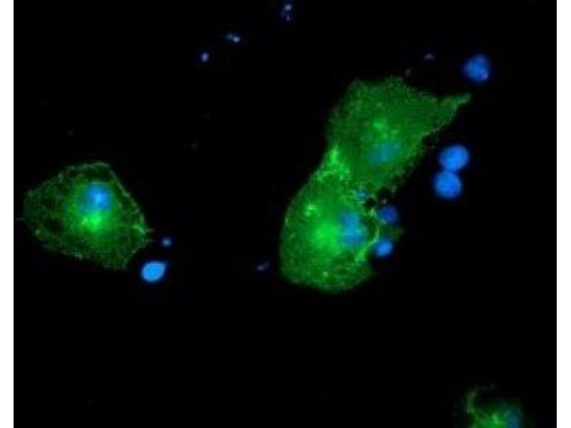 Immunofluorescence (IF) image for anti-PTK7 antibody (PTK7 Protein tyrosine Kinase 7) (ABIN4348551)
