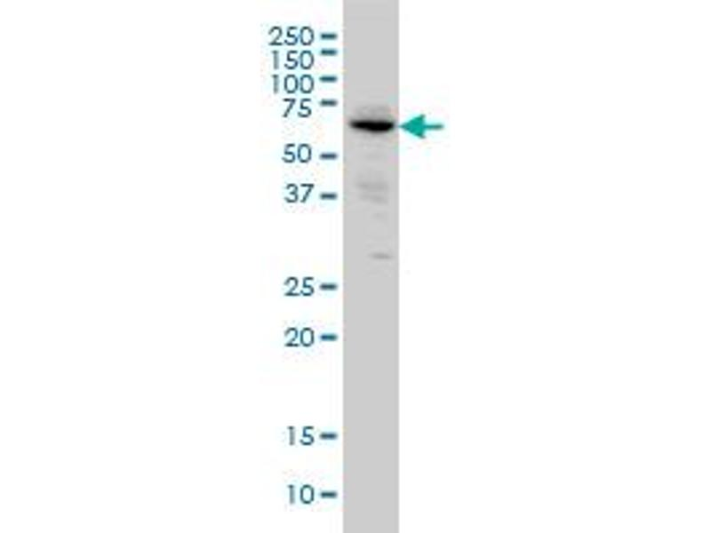 Western Blotting (WB) image for anti-Alkaline Phosphatase, Intestinal (ALPI) (AA 74-162), (partial) antibody (ABIN559857)