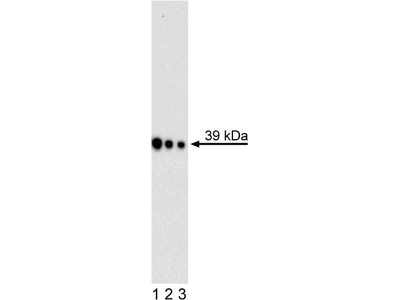 Western Blotting (WB) image for anti-Musashi Homolog 1 (Drosophila) (MSI1) (AA 221-311) antibody (ABIN967671)
