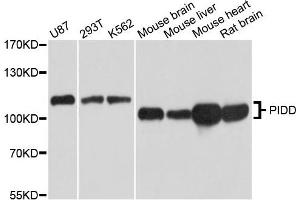 Western Blotting (WB) image for anti-P53-Induced Death Domain Protein (PIDD) antibody (ABIN1873560)