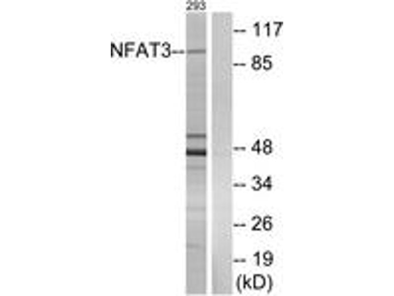 Western Blotting (WB) image for anti-Nuclear Factor of Activated T-Cells, Cytoplasmic, Calcineurin-Dependent 4 (NFATC4) (AA 642-691) antibody (ABIN1532367)