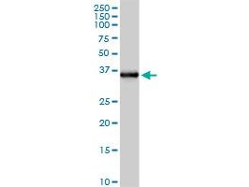 Western Blotting (WB) image for anti-Ficolin (Collagen/fibrinogen Domain Containing Lectin) 2 (Hucolin) (FCN2) (AA 1-313), (full length) antibody (ABIN515579)