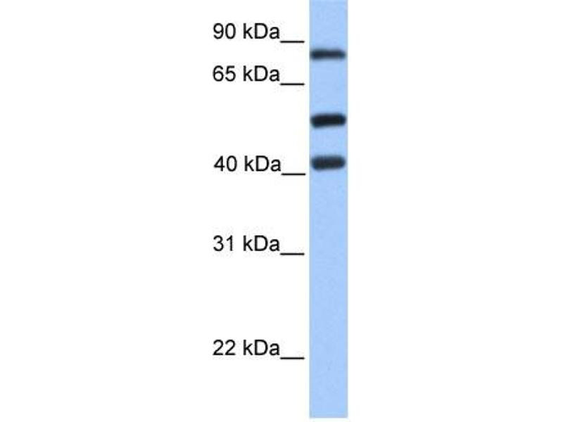 Western Blotting (WB) image for anti-Host Cell Factor C2 (HCFC2) (C-Term) antibody (ABIN309662)