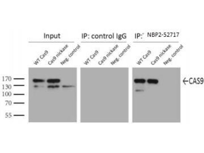 Immunoprecipitation (IP) image for anti-CRISPR-Cas9 (AA 1150-1200) antibody (ABIN4265115)