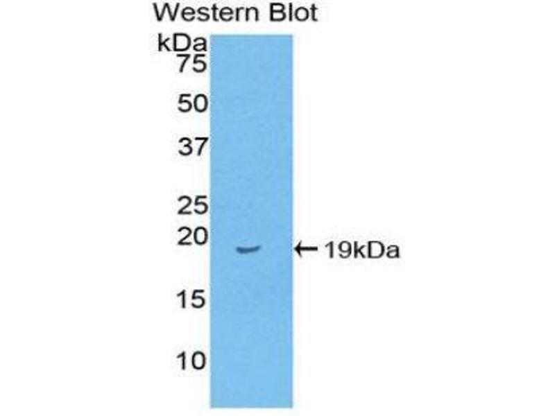 Western Blotting (WB) image for anti-Fatty Acid Binding Protein 2, Intestinal (FABP2) (AA 2-132) antibody (ABIN1078015)
