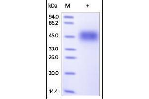Image no. 2 for Natural Killer Cell Receptor 2B4 (CD244) (AA 22-221) protein (His tag) (ABIN2180730)
