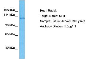 Image no. 1 for anti-Sfi1 Homolog, Spindle Assembly Associated (Yeast) (SFI1) (C-Term) antibody (ABIN2792064)