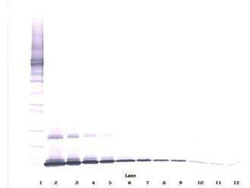 image for anti-IL7 antibody (Interleukin 7) (ABIN465861)