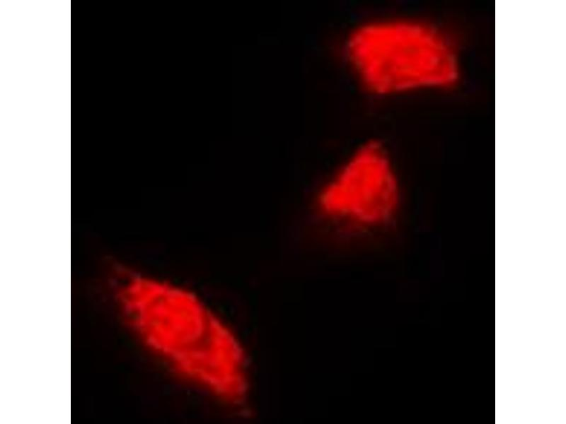 Immunofluorescence (IF) image for anti-KRT18 antibody (Keratin 18) (C-Term) (ABIN2704704)