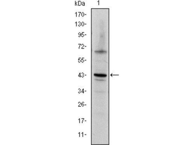 Western Blotting (WB) image for anti-C-JUN antibody (Jun Proto-Oncogene) (ABIN1846410)