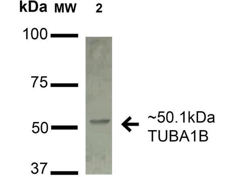 Image no. 1 for anti-alpha Tubulin (TUBA1) antibody (PerCP) (ABIN5066602)