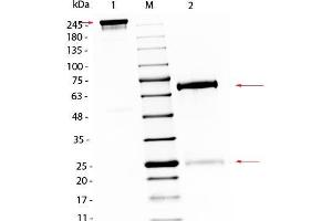 Image no. 1 for Chicken IgG isotype control (ABIN5633221)