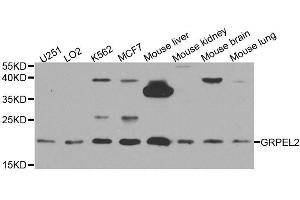 Image no. 1 for anti-GrpE-Like 2, Mitochondrial (E. Coli) (GRPEL2) antibody (ABIN6141437)