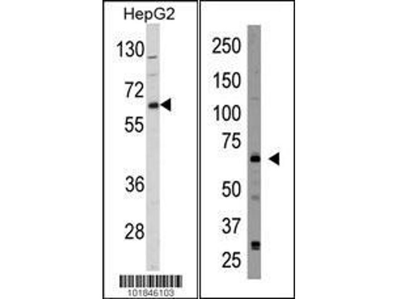 Western Blotting (WB) image for anti-Cryptochrome 2 (Photolyase-Like) (CRY2) (AA 564-593), (C-Term) antibody (ABIN390080)