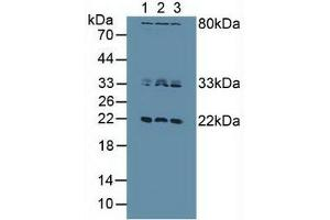 Image no. 2 for anti-Dual Specificity Phosphatase 3 (DUSP3) (AA 2-185) antibody (ABIN1077979)