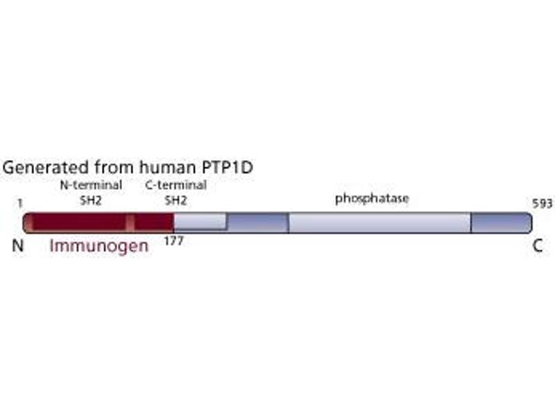 image for anti-PTPN11 antibody (Protein tyrosine Phosphatase, Non-Receptor Type 11) (AA 1-177) (ABIN968069)