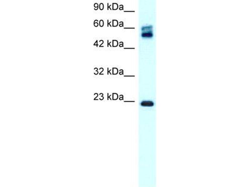 Western Blotting (WB) image for anti-Claudin 8 (CLDN8) (C-Term) antibody (ABIN182852)