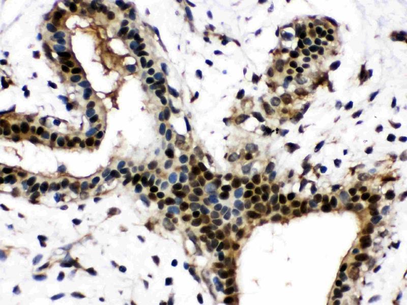 Image no. 3 for anti-Nicotinamide phosphoribosyltransferase (NAMPT) (AA 62-337) antibody (ABIN4886677)