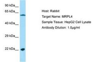 Image no. 1 for anti-Mitochondrial Ribosomal Protein L4 (MRPL4) (AA 111-160) antibody (ABIN6750215)