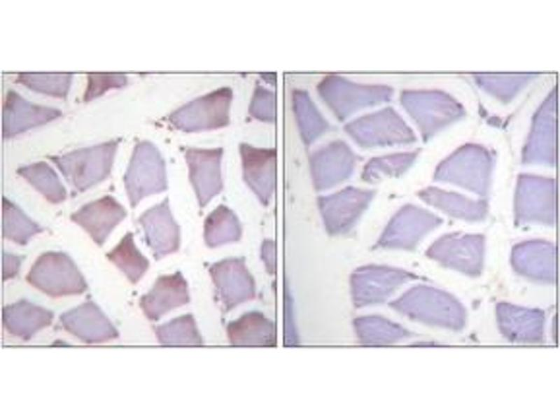 Immunohistochemistry (IHC) image for anti-Alkaline Phosphatase, Intestinal (ALPI) (AA 53-102), (pSer87) antibody (ABIN1531414)