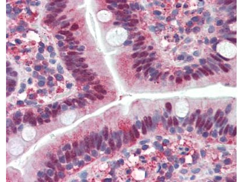 image for anti-LIM Homeobox 4 (LHX4) (AA 119-135) antibody (ABIN226137)