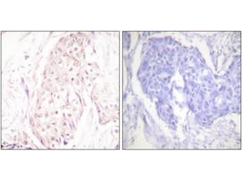 Immunohistochemistry (IHC) image for anti-SUMO/sentrin Specific Peptidase Family Member 8 (SENP8) (AA 161-210) antibody (ABIN1533442)