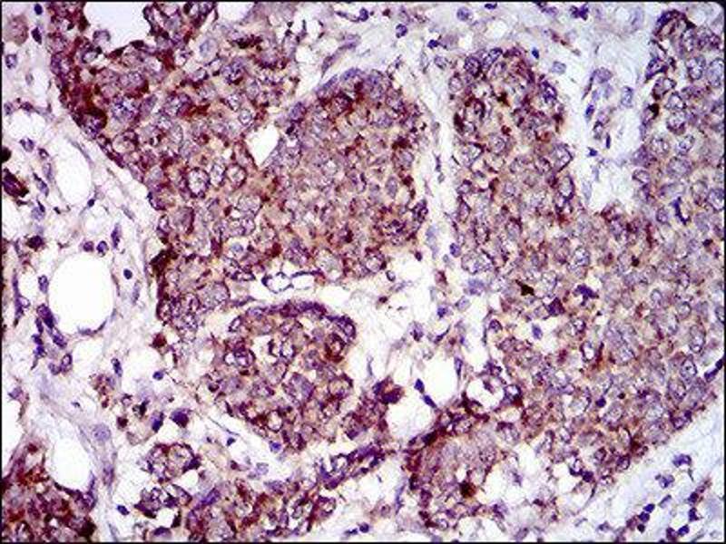 Image no. 2 for anti-Mitochondrial Ribosomal Protein L42 (MRPL42) (AA 10-142) antibody (ABIN1844263)