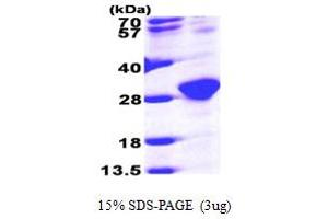 Image no. 1 for RAB6A, Member RAS Oncogene Family (RAB6A) (AA 1-208) protein (His tag) (ABIN667298)