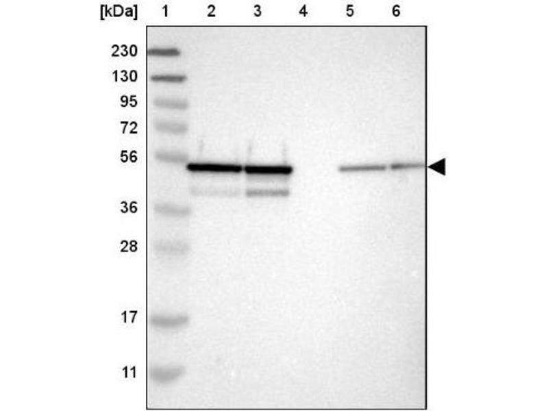 Image no. 3 for anti-NudC Domain Containing 3 (NUDCD3) antibody (ABIN4341091)