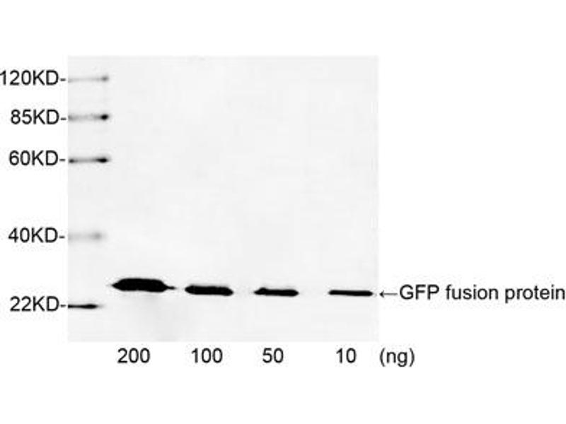 Western Blotting (WB) image for anti-Green Fluorescent Protein (GFP) antibody (ABIN1574093)
