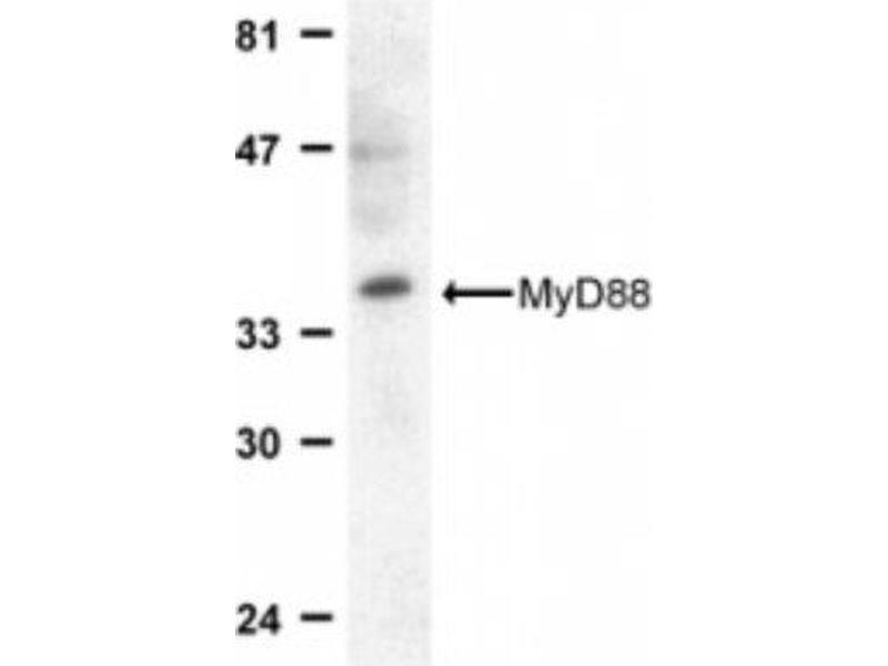 Western Blotting (WB) image for anti-MYD88 antibody (Myeloid Differentiation Primary Response Gene (88)) (C-Term) (ABIN4336945)