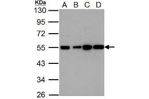 Image no. 1 for anti-Histamine Receptor H2 (HRH2) (N-Term) antibody (ABIN2856570)