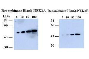 Image no. 2 for anti-NIMA (Never in Mitosis Gene A)-Related Kinase 2 (NEK2) (AA 282-295) antibody (ABIN108652)