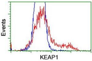 Image no. 5 for anti-Kelch-Like ECH-Associated Protein 1 (KEAP1) antibody (ABIN1499016)