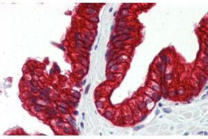 Image no. 4 for anti-Sp3 (Middle Region) antibody (ABIN2777872)