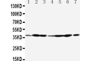 Image no. 1 for anti-Annexin A2 (ANXA2) (AA 121-141), (Middle Region) antibody (ABIN3044380)