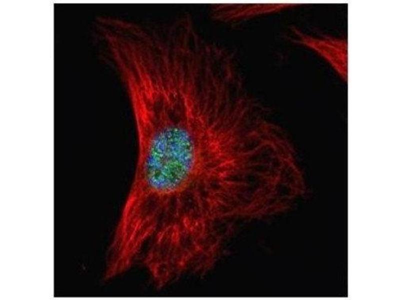 Immunofluorescence (IF) image for anti-serine/arginine-Rich Splicing Factor 1 (SRSF1) (Center) antibody (ABIN4353084)