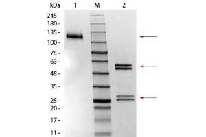 SDS-PAGE (SDS) image for Mouse IgG1 Isotype Control (ABIN4323604)