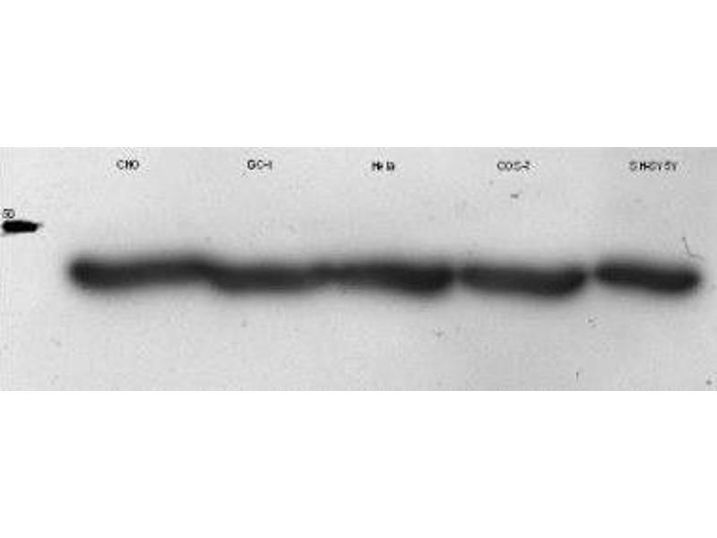 Western Blotting (WB) image for anti-beta Actin antibody (Actin, beta) (N-Term) (ABIN153386)