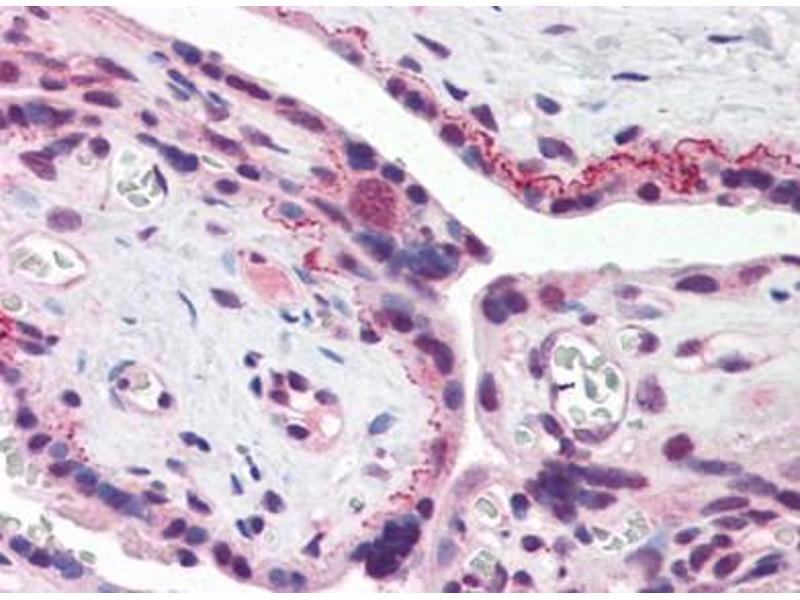 image for anti-Brain and Reproductive Organ-Expressed (TNFRSF1A Modulator) (BRE) antibody (ABIN372906)