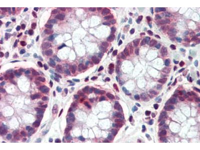 Immunohistochemistry (Paraffin-embedded Sections) (IHC (p)) image for anti-Transcription Factor 7-Like 1 (T-Cell Specific, HMG-Box) (TCF7L1) (AA 35-84) antibody (ABIN462163)