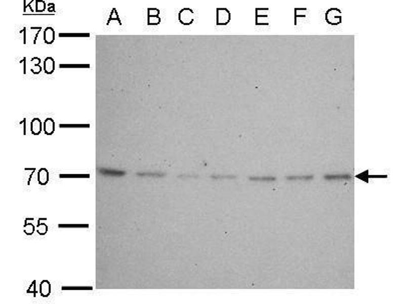Western Blotting (WB) image for anti-Lamin B2 (LMNB2) (Internal Region) antibody (ABIN2856712)