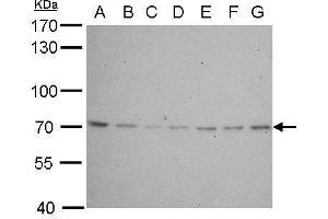 Western Blotting (WB) image for anti-Lamin B2 antibody (LMNB2) (Internal Region) (ABIN2856712)