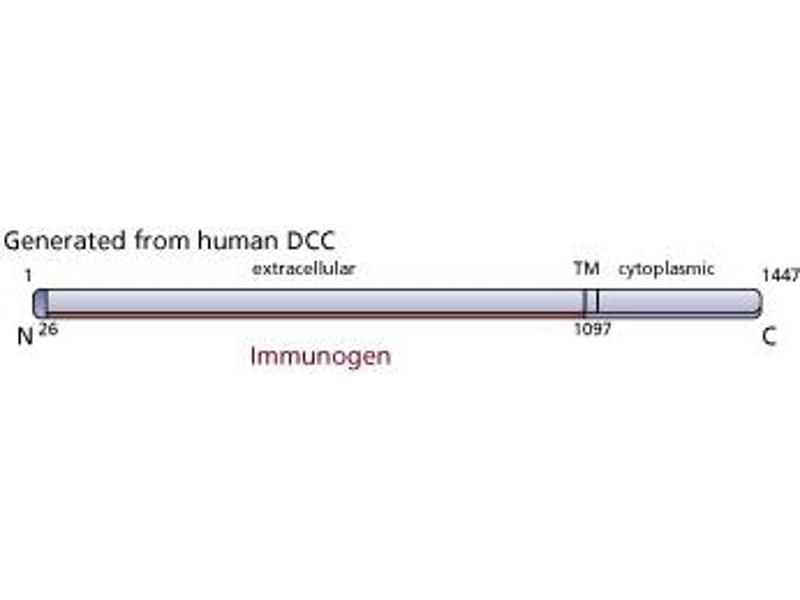 image for anti-Deleted in Colorectal Carcinoma (DCC) (Extracellular Domain) antibody (ABIN967442)