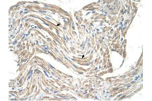 Image no. 1 for anti-Creatine Kinase, Mitochondrial 2 (Sarcomeric) (CKMT2) antibody (ABIN629666)
